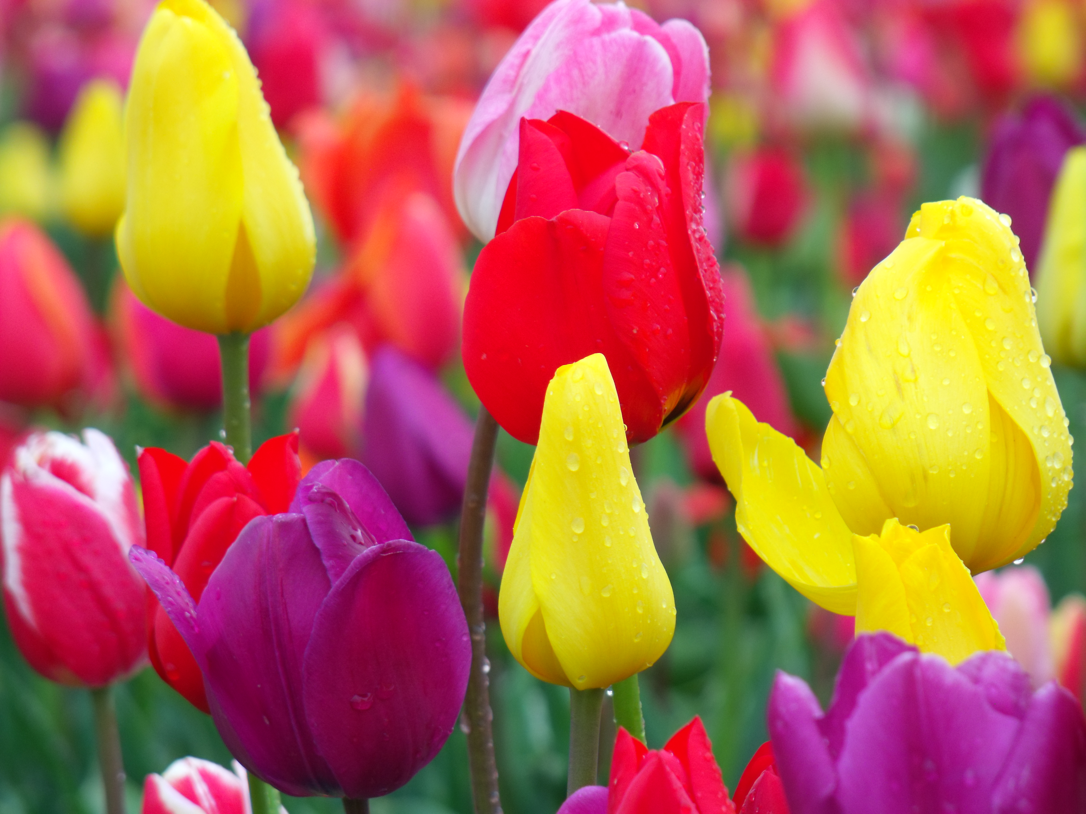 tulip_festival_2010_5